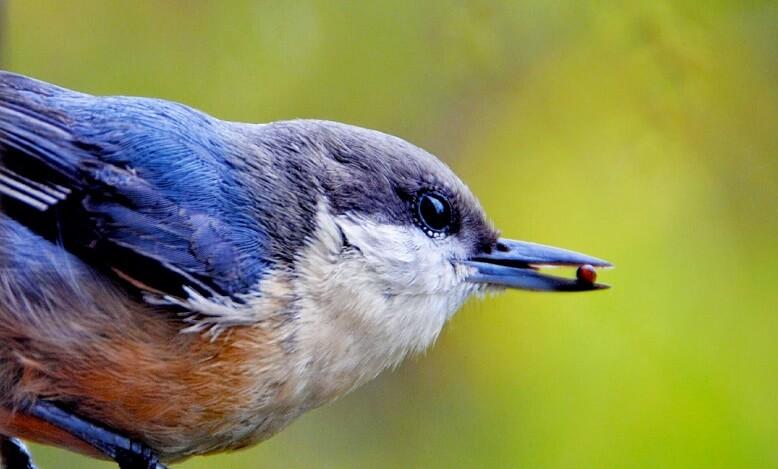 Holunderbeeren wird von Vogel gefressen