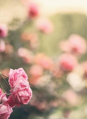 Rosen enthalten wertvolle ätherische Öle