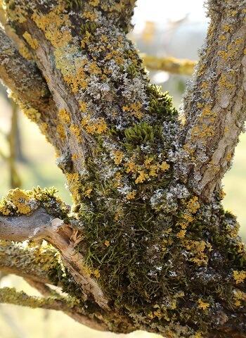 Alter Holunderbeeren Baum