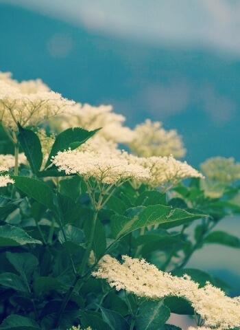 Holunderbeeren in der Blütezeit