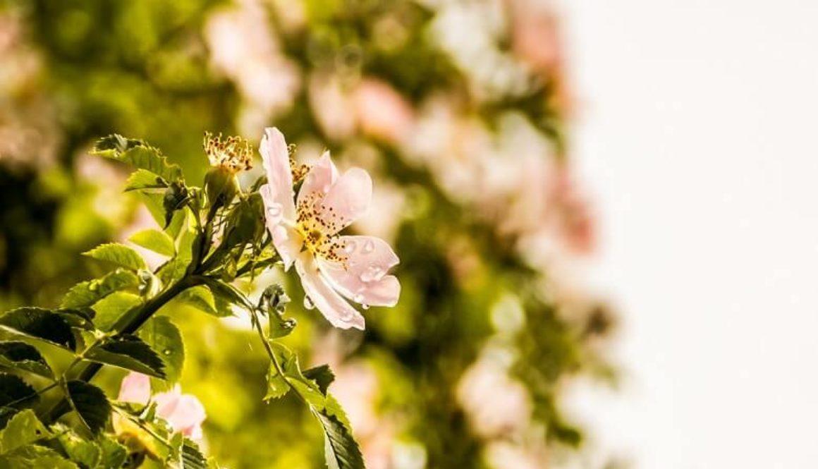 4 Gründe, warum Wildrosenöl deinen Teint strahlen lässt