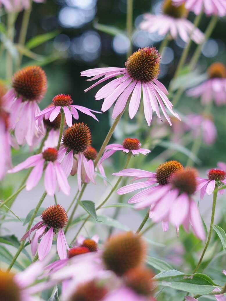 Ein Erkältungstee mit Echinacea vertreibt Viren schnell und effektiv