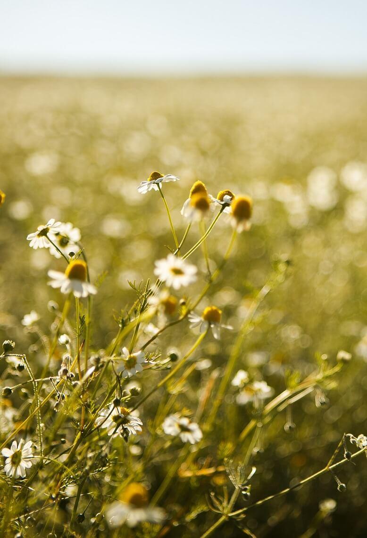 Die Kamille ist eine wichtige Heilpflanze und sie darf in keinem Erkältungstee fehlen