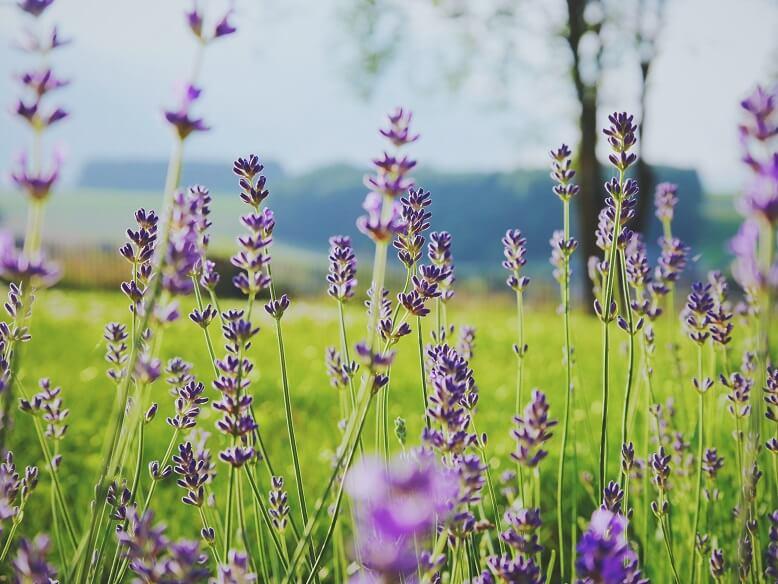 Lavendelöl Wirkung für Gesundheit und Schönheit