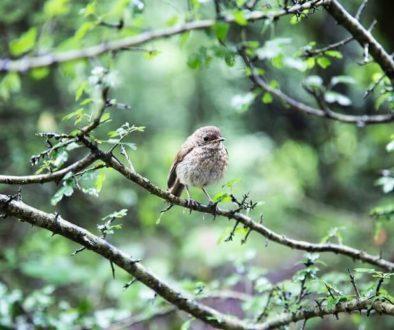 Vögel anlocken mit Sträuchern und Hecken